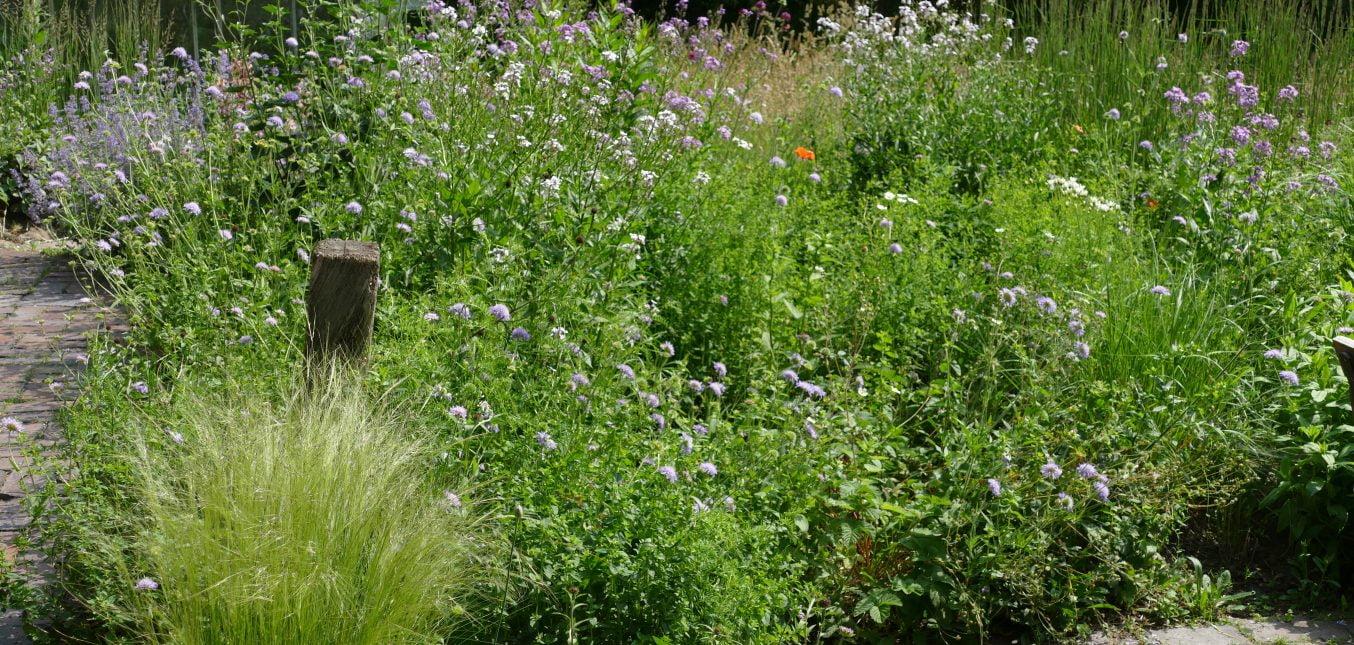 Wiesenwitwenblumen