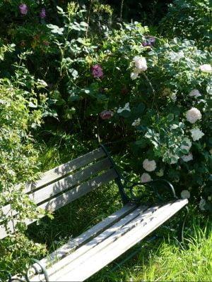 gefüllte alte Rose