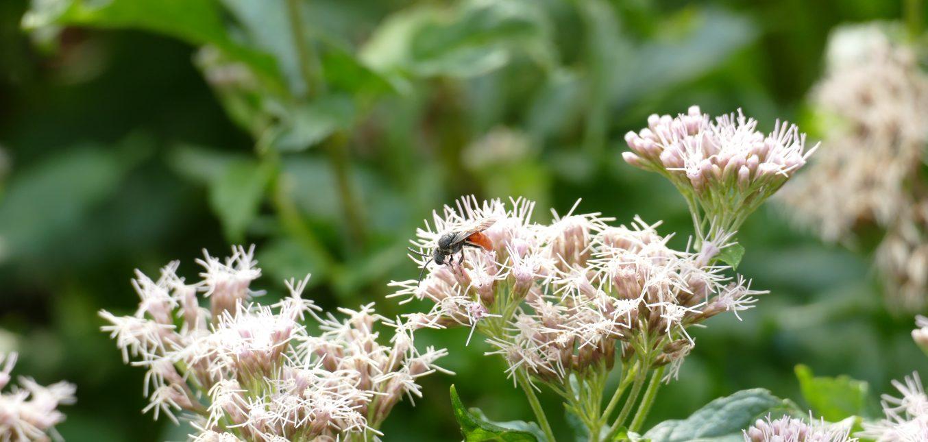 Jetzt im Naturgarten: Heimischer Wasserdost - ein Insektenmagnet