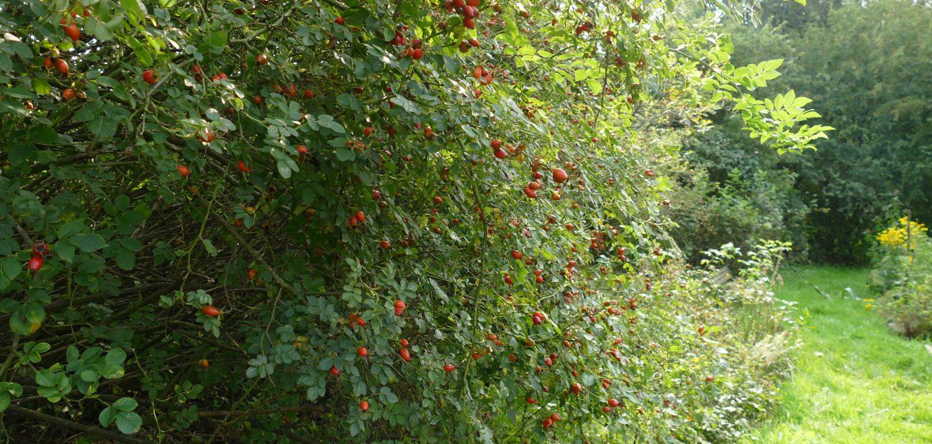 Herbstschmuck im Naturgarten: Hagebutten
