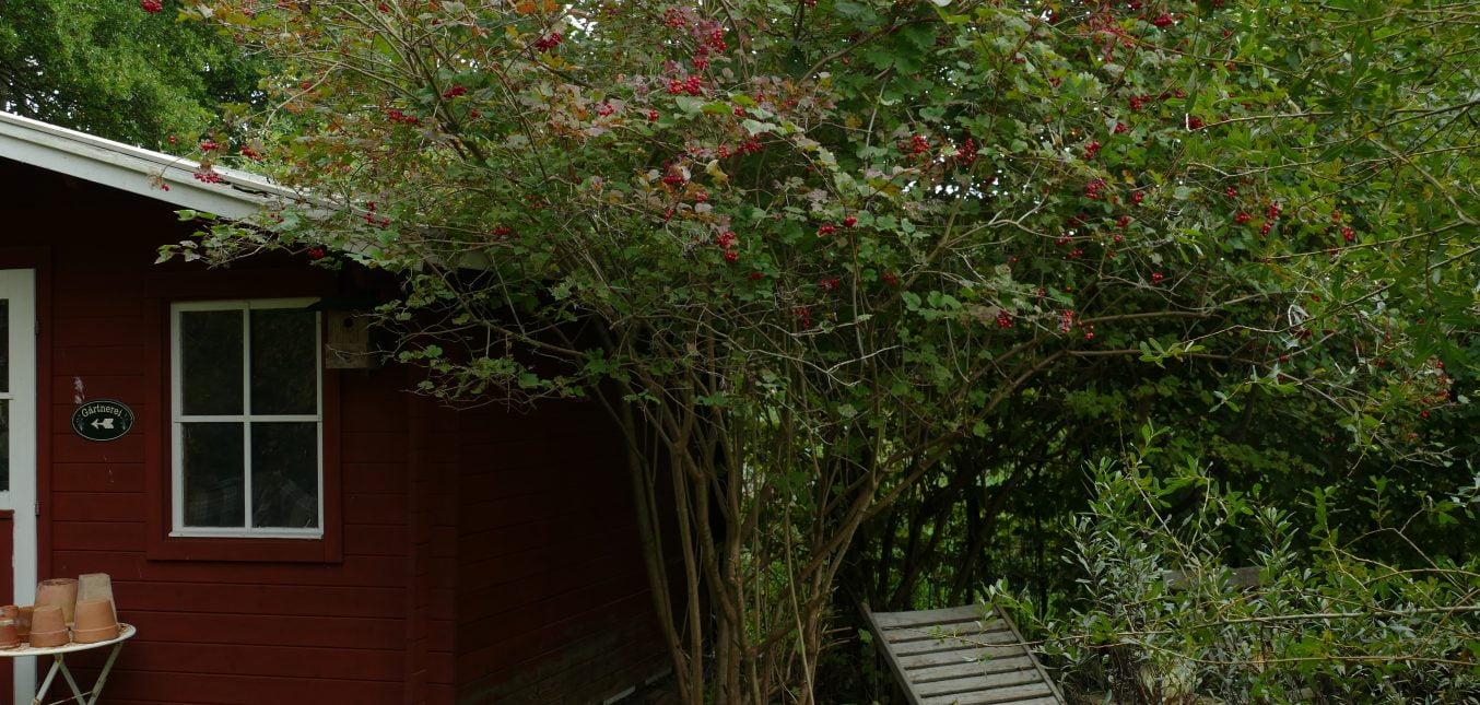 Herbst im Naturgarten - Rote Beeren für Vögel III