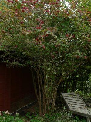 Viburnum opulus Früchte