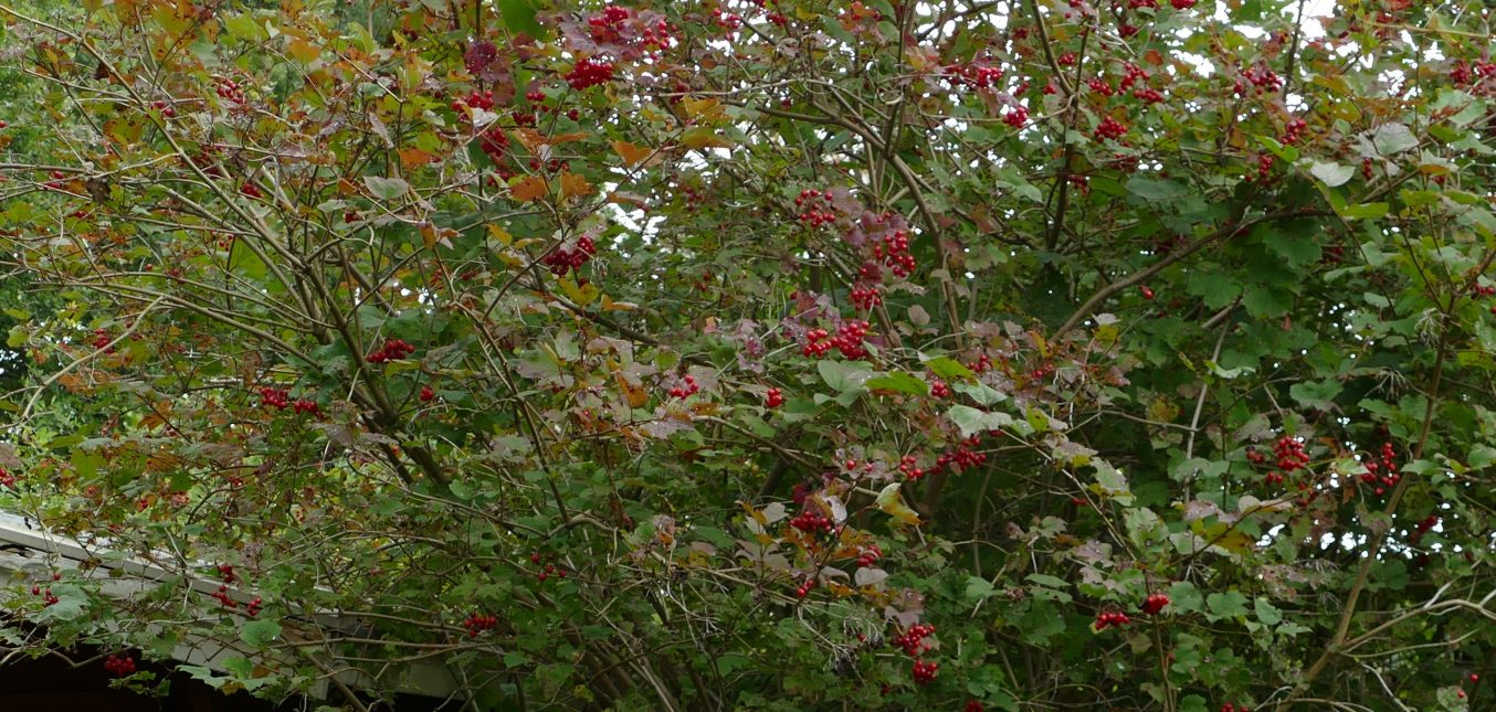 Herbst im Naturgarten - Rote Beeren für Vögel II