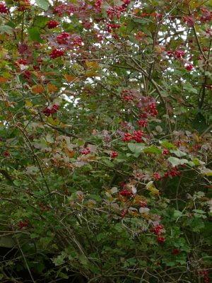 Viburnum opulus Früchte (Ausschnitt)