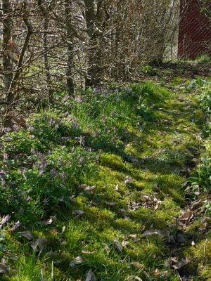 Corydalis cava mit Primula elatior