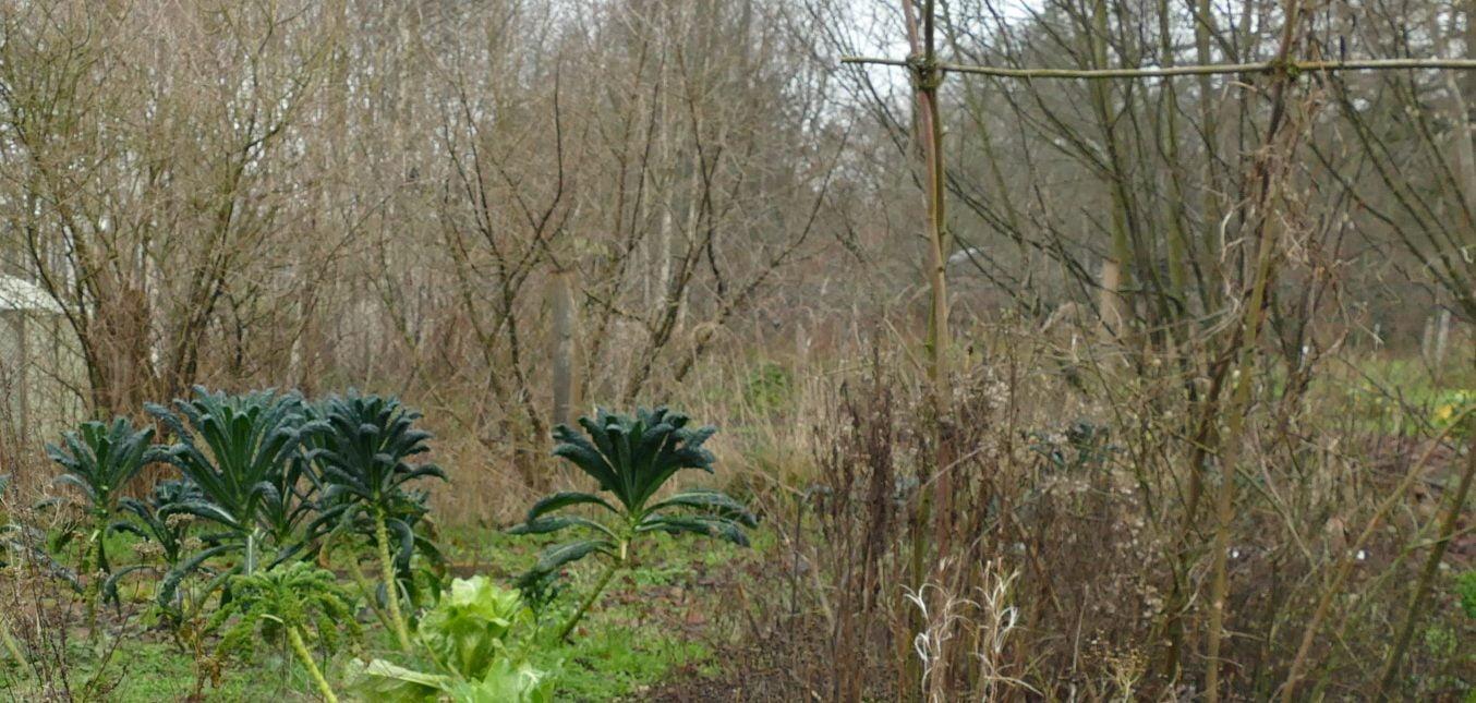 Schwarzkohl im Januar - gesunde Nahrung direkt aus dem Garten