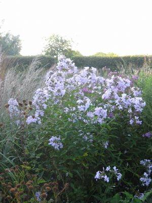 Phlox paniculata Lavendelwolke